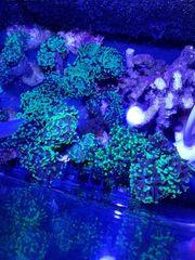 Meerwasser Korallen Hammerkoralle