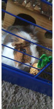 Merrschweinchen Männchen Kastriert Käfig mit