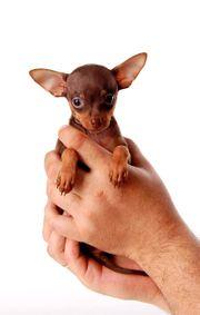 Mini Hunde Russkiy Toy Toy