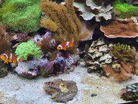 Meerwasserfische/Korallen/Lebendgestein