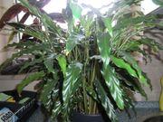 Zimmerpflanze ca 60 cm mit