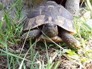 Männliche Griechische Landschildkröte