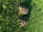 Griechische Landschildkröten 1 1 schildkröte