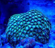 Meerwasser Krustenanemonen Zoanthus sp