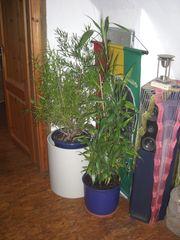 Zimmerpflanzen Büro Yucca Drachenbaum Pfennigbaum