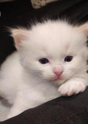 ragdoll Kitten baby