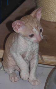 Cornish Rex Kitten mit Stammbaum