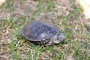 10 Europäische Sumpfschildkröten