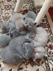 Bkh kitten alle reserviert