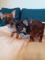 Chihuahua Welpen zuverkaufen