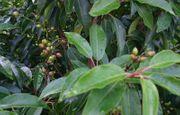 Portugiesische Kirschlorbeere - Pflanzen