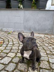 Französische Bulldoge Blue Welpen