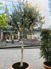 Olivenbaum 17 Jahre Alt sehr