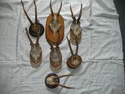 Reh Geweih Sammlung Dekoration