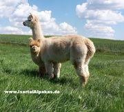Alpaka Einsteigerkurs am 1 Mai