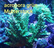 acropora grün Korallen Meerwasser LPS