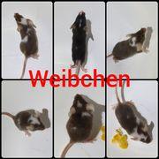 Farbmäuse Jungtiere Mäuse Maus