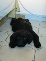 Labrador Welpen schwarz Junge und