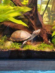 Klappschildkröte