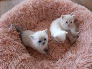 Süße reinrassige BKH Kätzchen