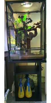 Madagaskar Taggeckos Phelsuma grandis