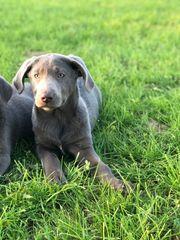 Reinrassige silberne Labradorwelpen