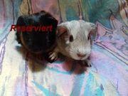 2 Meerschweinchen Babys m w