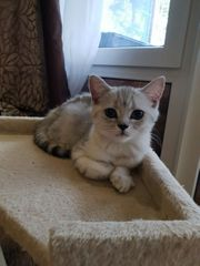 Britische Kurzhaar Kitten ein Männchen