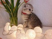 Kater BKH Scottishfold Kitten Babykatze