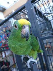 Gelbscheitelamazonen - Päärchen mit Käfig