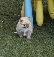 Bezaubernde Pomeranian Welpen