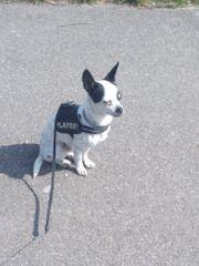 Chihuahua-Pinscher-Mix - Rüde zum Decken