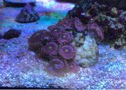 Meerwasser Zoathus