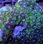 Korallen für Anfänger und Fortgeschrittene