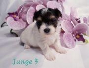 Bolonka Swetna Biewer Yorkshire Terrier