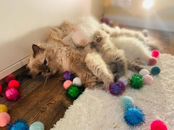 Knuffige Ragdoll BLH Kitten Katzenbabys Babykatzen