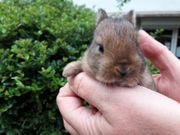 junge Kaninchen Zwergkaninchen Farbenzwerge