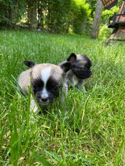 Reinrassige Chihuahua Welpen ab dem