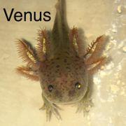 Junge Axolotls verschiedene Färbungen