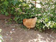 Legereife Hühner Hähne zu-verkaufen
