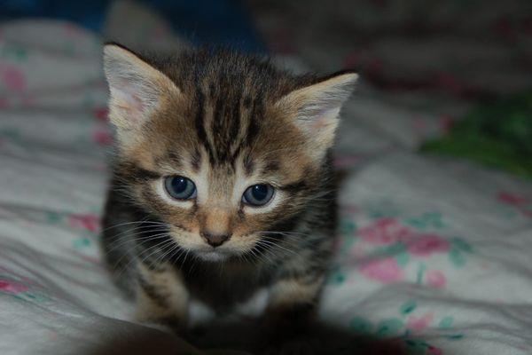 Katzen Babys Bengal Maine Coon In Keltern Kaufen Und Verkaufen