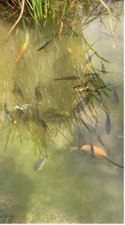 Kois Fische Teichfische eigener Nachwuchs