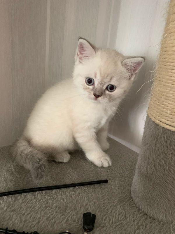 Britische Kurzhaar Katzenbabys