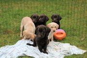 Bildschöne Labrador-Mix Welpen