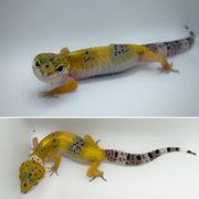 Leopardgeckos NZ 2021 abzugeben