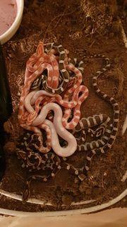 Kornnatter Baby