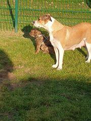 Englischer Bulldoggen Mix Englische Bulldogge