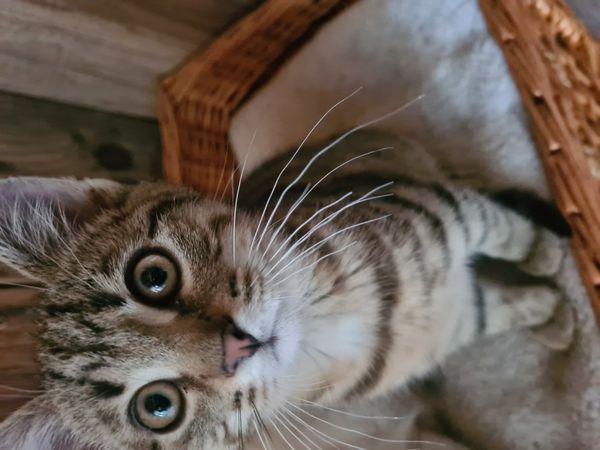 Persermischlinge Katzenbaby Kitten ab sofort
