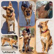 Wunderschöne Hündin Athena 1 Jahr