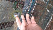 Handzahmen Vogel Aymarasittich